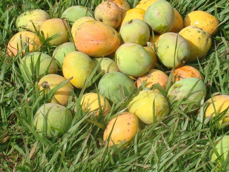 Mango afrykańskie - cud dietetyki czy oszustwo?